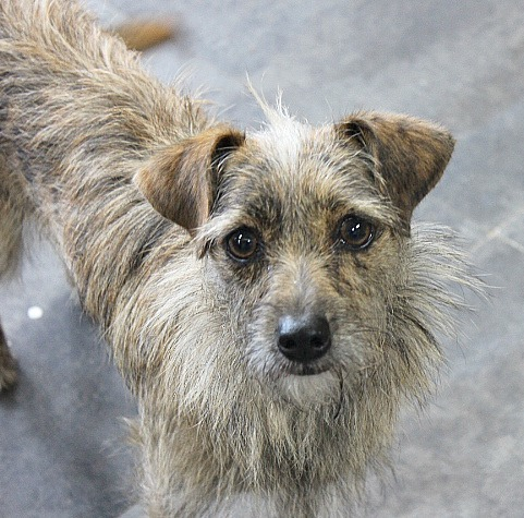 Autumn, an adopted Norwich Terrier in Reston, VA