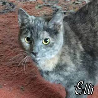 Elli, an adopted Domestic Short Hair & Dilute Tortoiseshell Mix in Pittsburgh, PA