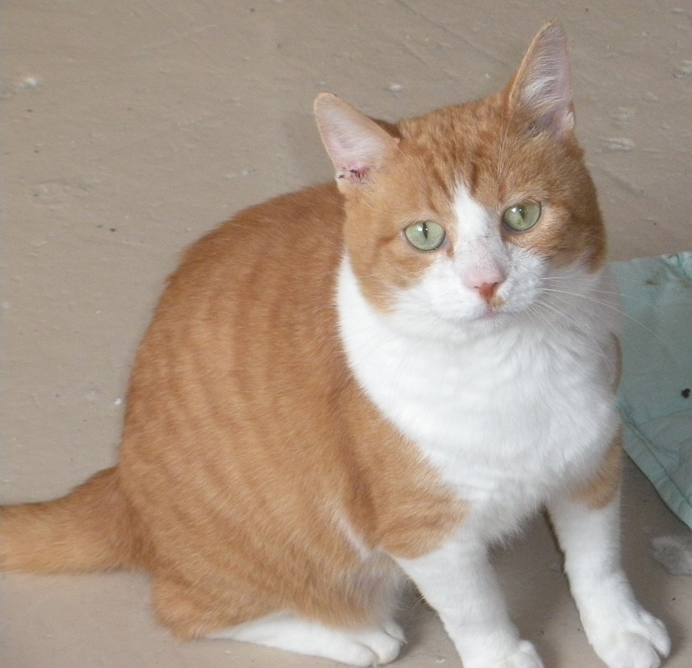 Cat for Adoption – Jeffy, near Flint Hill, VA | Petfinder