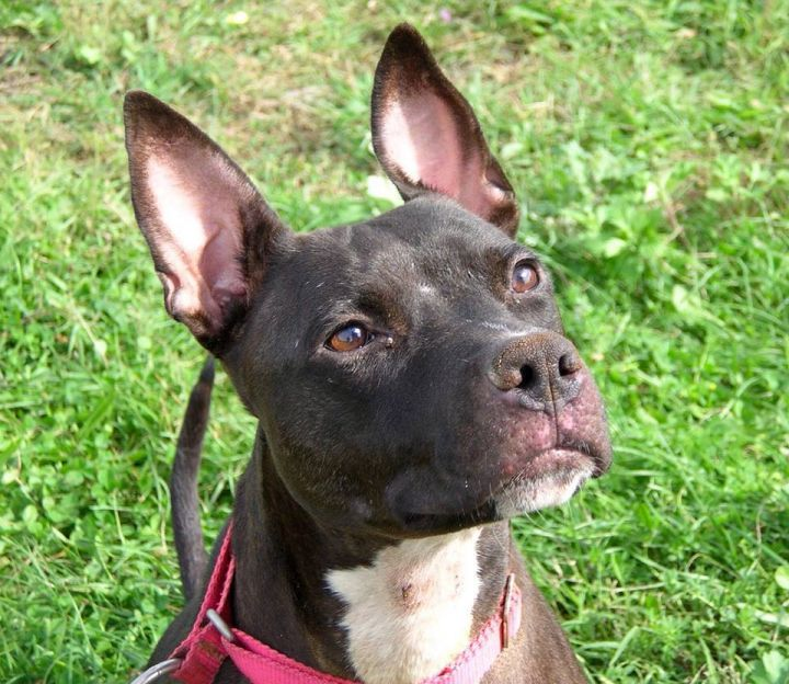 AIMEE, an adoptable Pit Bull Terrier Mix in Utica, NY
