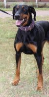 Doberman Pinscher Dog: Maria