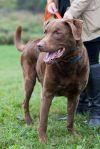 Chesapeake Bay Retriever Dog: Blue