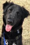 Newfoundland Dog Dog: NOLAN