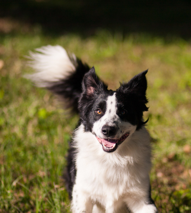 Dog For Adoption Fergus A Border Collie Australian Shepherd Mix In The Woodlands Tx Petfinder