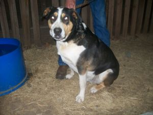 Doc is a Swiss Mountain Dog Extremely lovable and lots of energy Not for very young children Prev