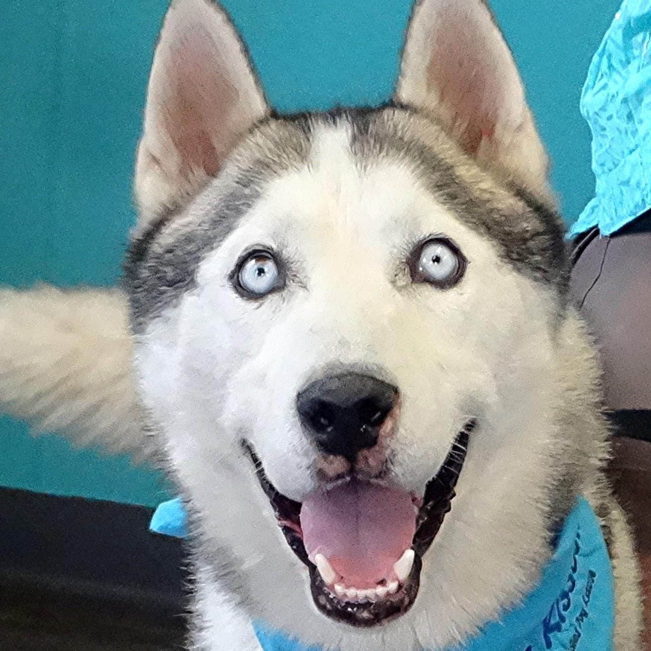 Dog for Adoption – RUFUS-Volunteers Love Him!, near Indianapolis, IN ... | Siberian Husky Puppies En Puerto Rico