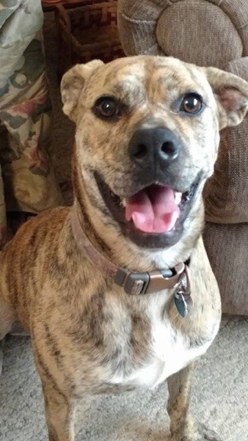 Berkley, an adoptable Plott Hound & Boxer Mix in Rydal, GA