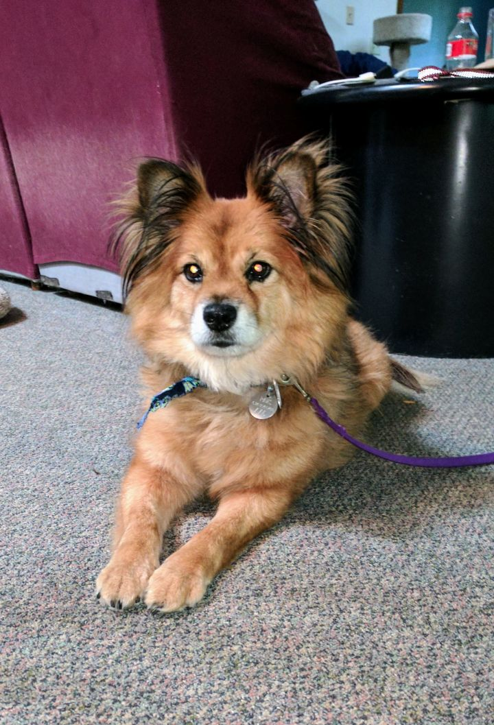 Fletcher, an adopted Chow Chow Mix in Powell, OH