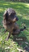Wirehaired Pointing Griffon Dog: Ruthie