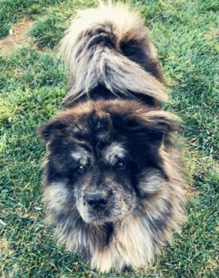 Dog for adoption - Ramon, a Chow Chow in Ventura, CA   Petfinder
