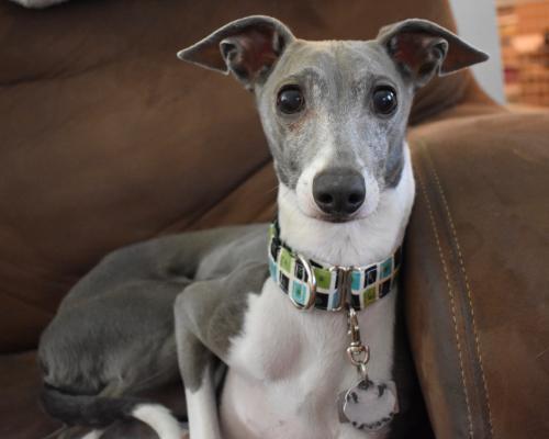 Resultado de imagen para italian greyhound