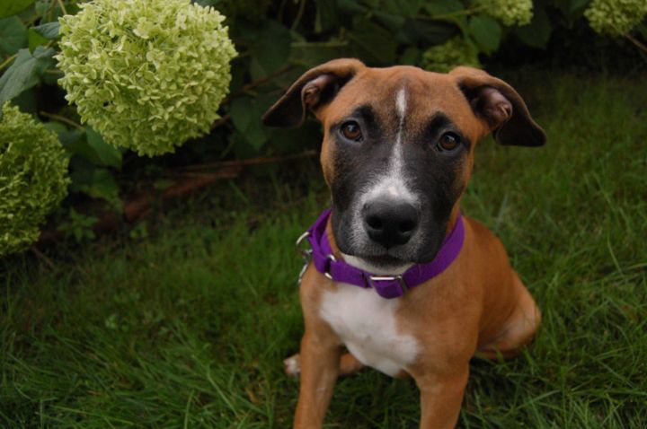 Ruby, an adopted American Staffordshire Terrier & Pit Bull Terrier Mix in Saint Paul, MN