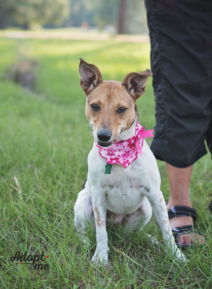 Maya, an adopted Parson Russell Terrier & Australian Cattle Dog / Blue Heeler Mix in Kingwood, TX