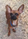 Chihuahua Dog: TEDDY