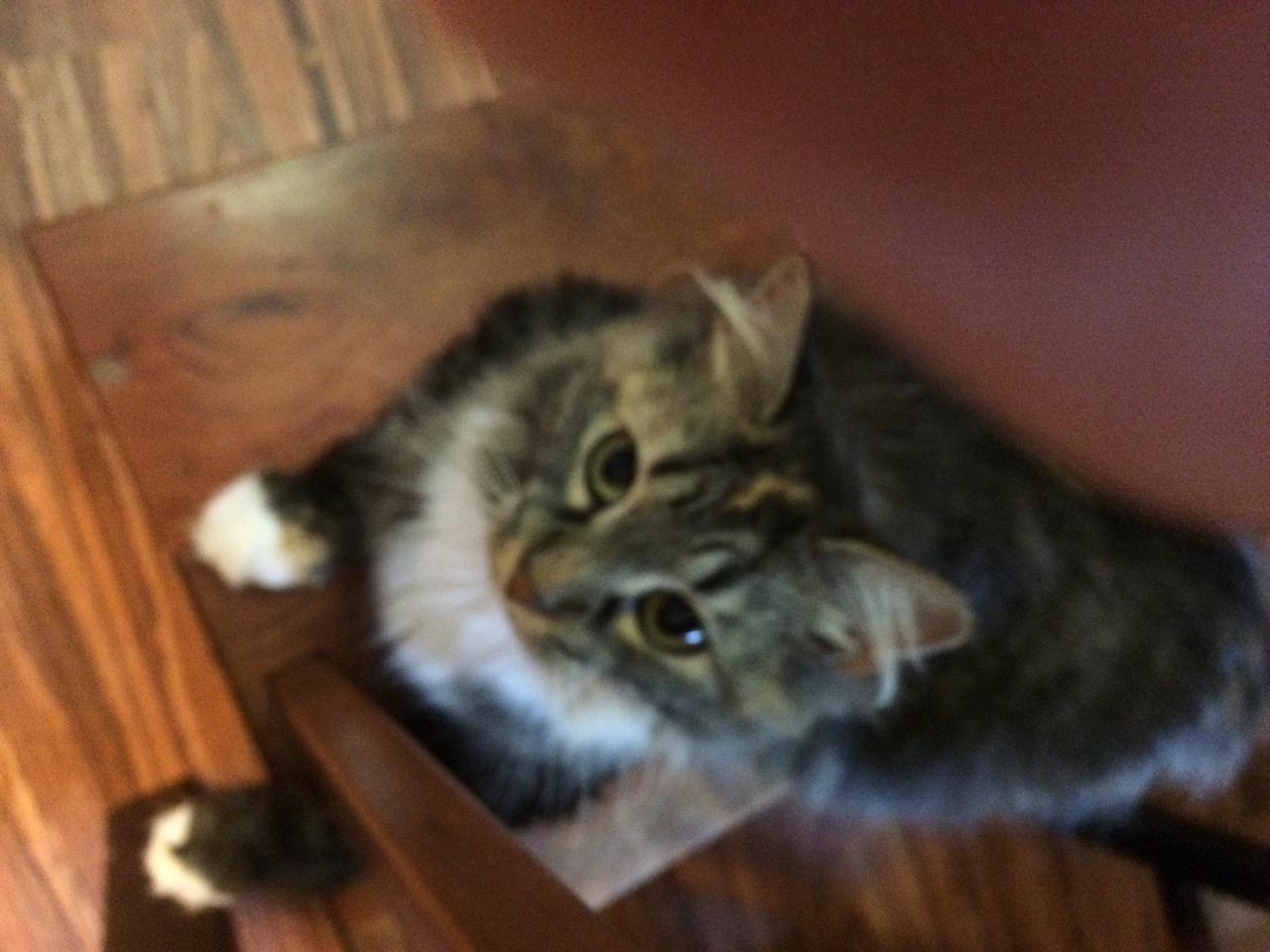 cat for adoption  u2013 pixie