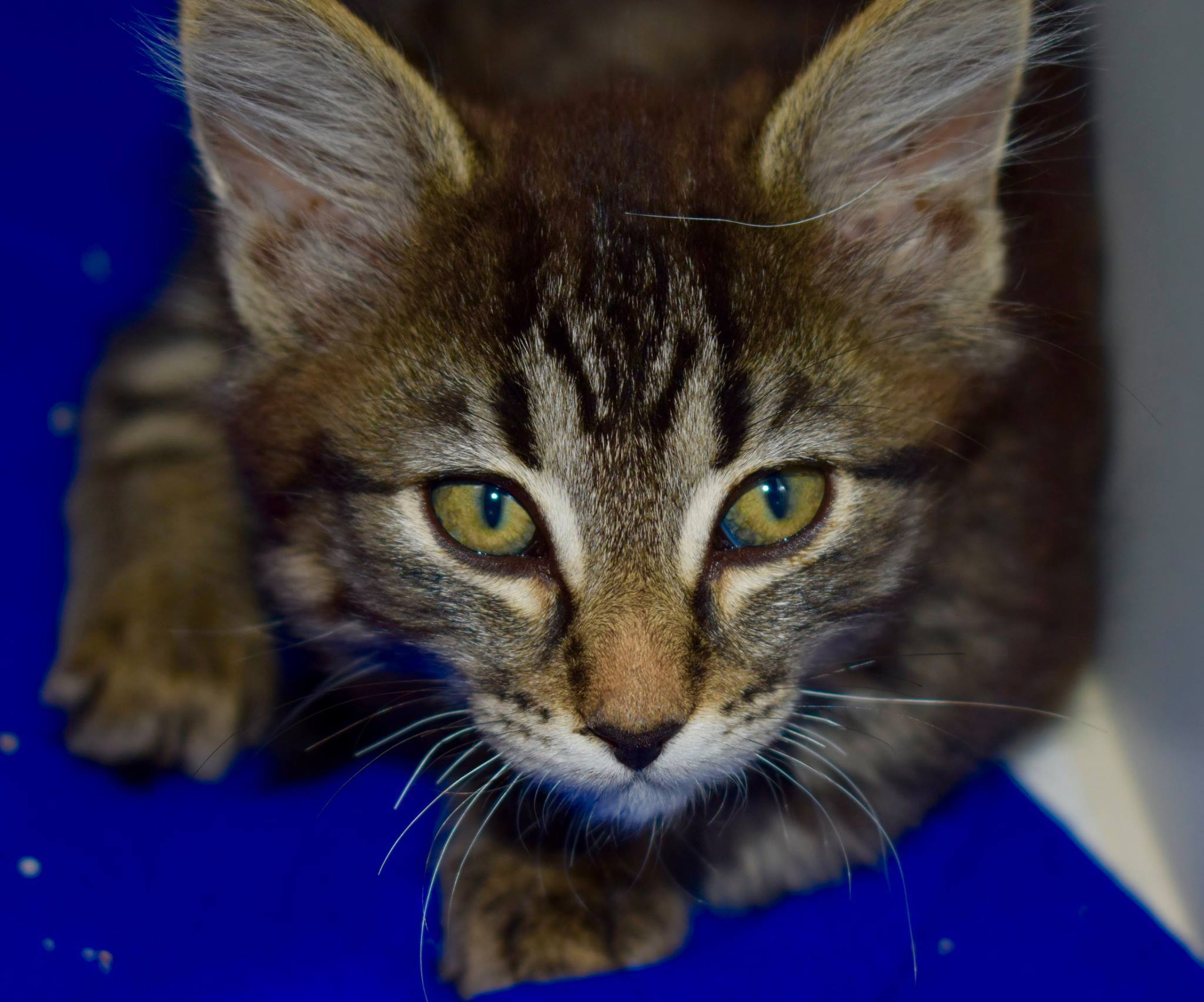 Cat for Adoption – Kittens near Rifle CO