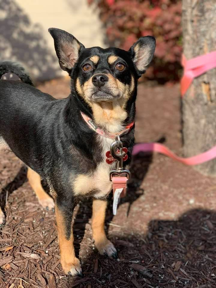 Sugar, an adopted Manchester Terrier & Chihuahua Mix in Cincinnati, OH