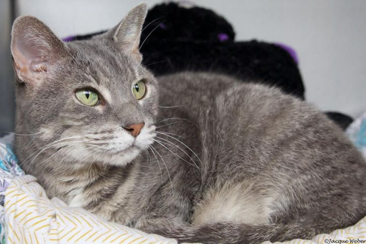 Janet, an adoptable Tabby in St. Louis, MO
