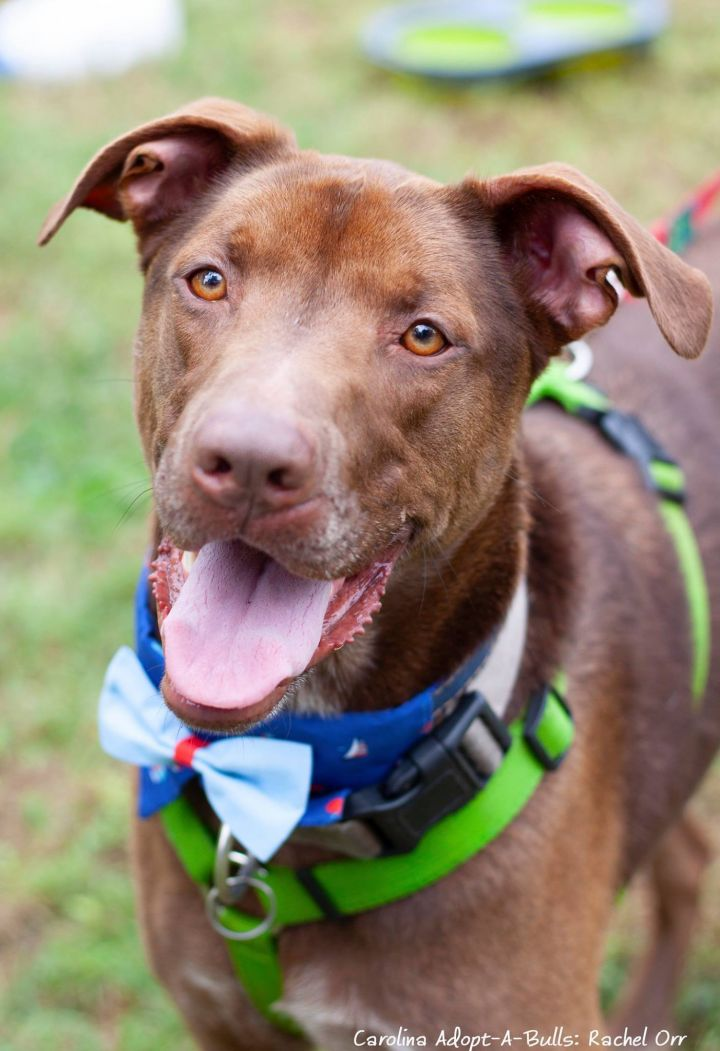 Blaze, an adopted Labrador Retriever Mix in Durham, NC
