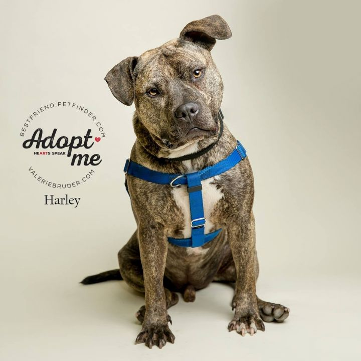 Dog for adoption - Harley, a Pit Bull Terrier & Mastiff Mix
