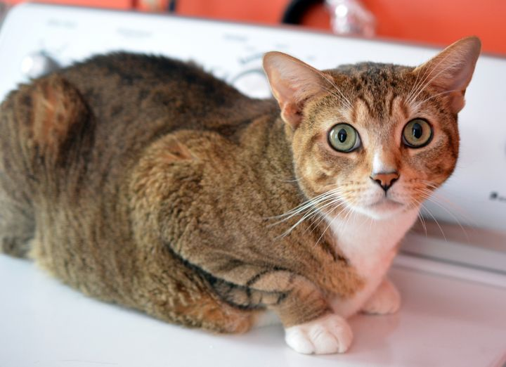 Avery, an adoptable Domestic Short Hair & Tabby Mix in South Ozone Park, NY