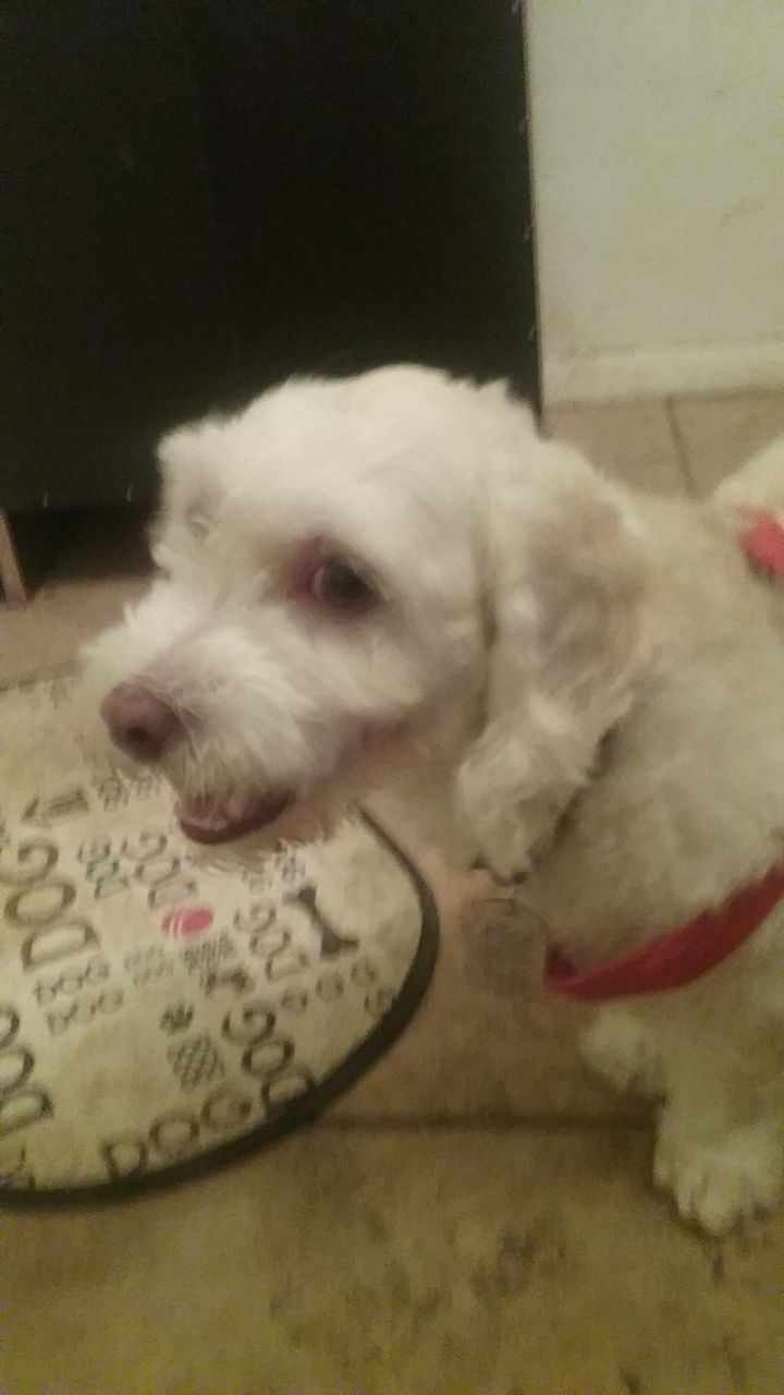 BRADLEY, an adopted Maltese Mix in Phoenix, AZ
