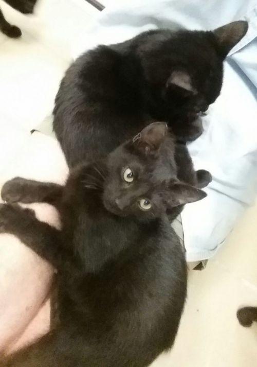 . FIVE Black KITTENS .