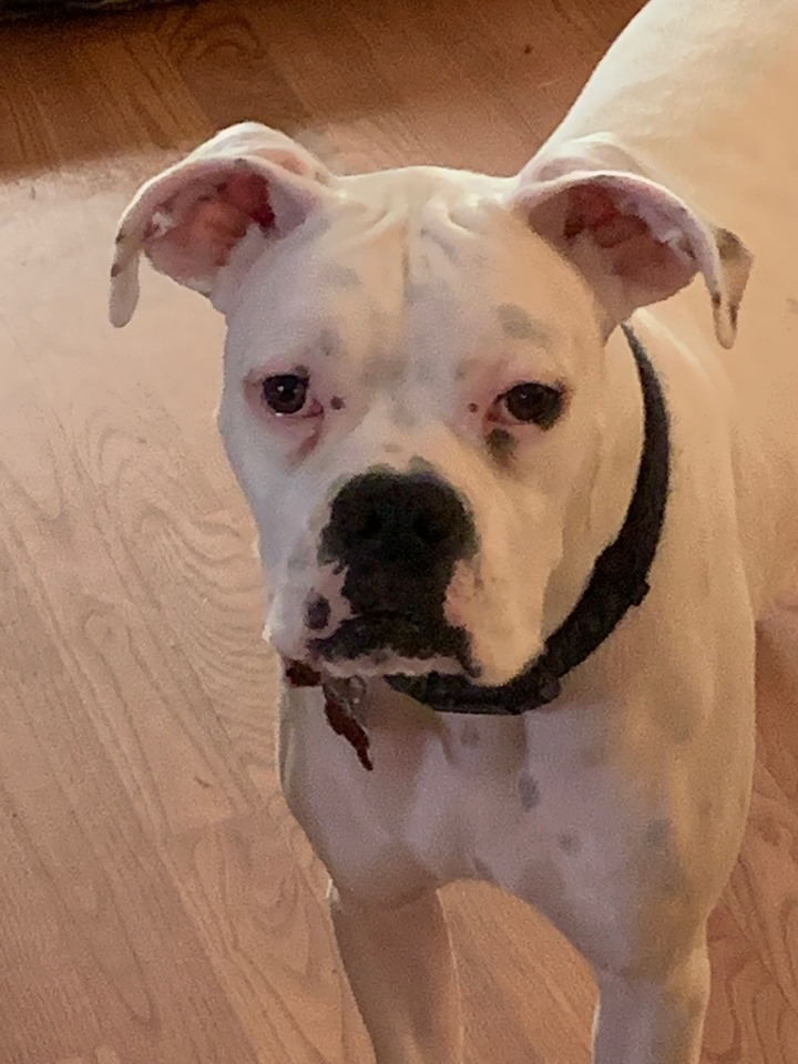 Astro-Deaf, an adoptable Boxer in Texarkana, TX