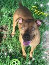 Pit Bull Terrier Dog: Pepper