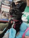 Brussels Griffon Dog: Ellie