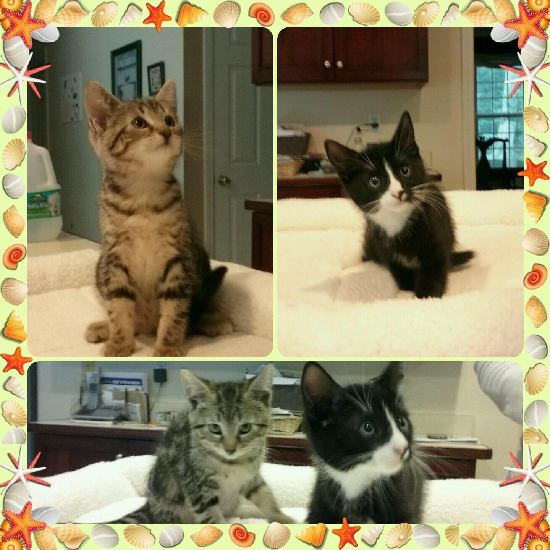 Cat for Adoption – Kittens near Shelton CT