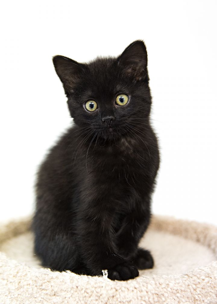 August (Auggie), an adopted Domestic Medium Hair in Fort Smith, NT