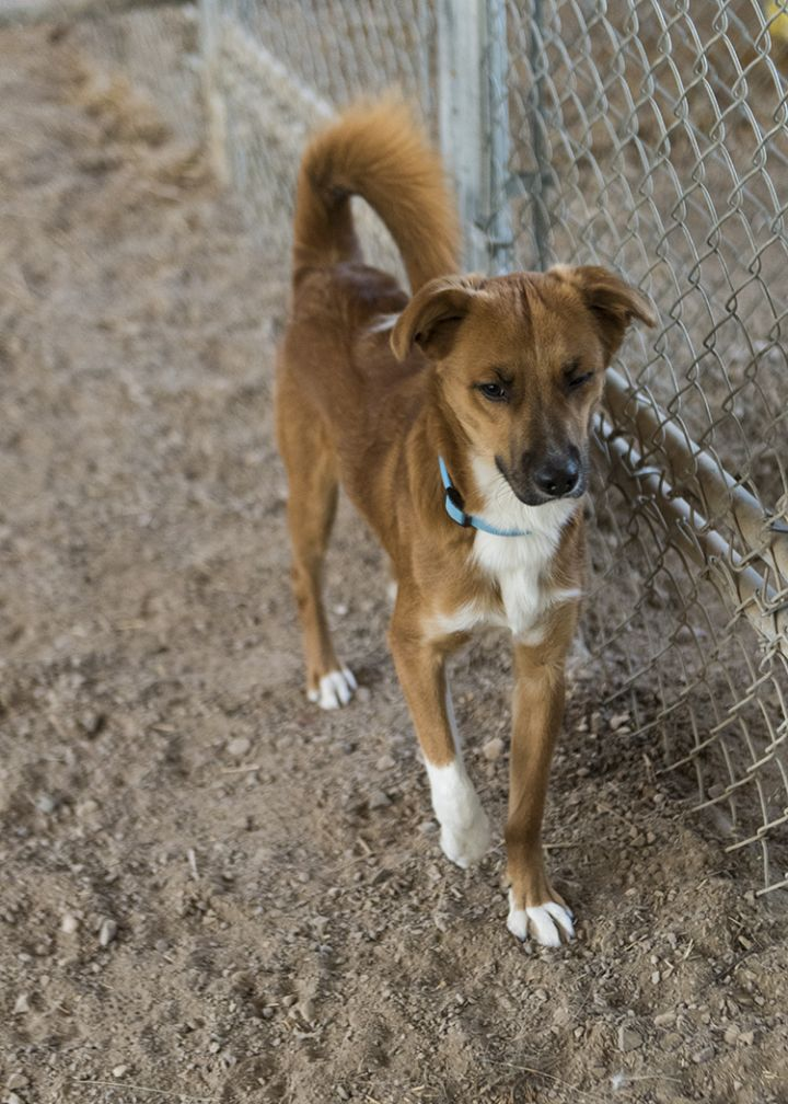 Samson, an adopted Beagle Mix in Fort Smith, NT