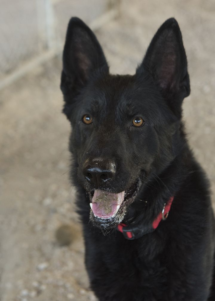 Oakley, an adopted German Shepherd Dog in Fort Smith, NT