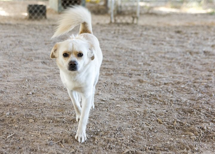 Cuddles, an adopted Chihuahua Mix in Fort Smith, NT