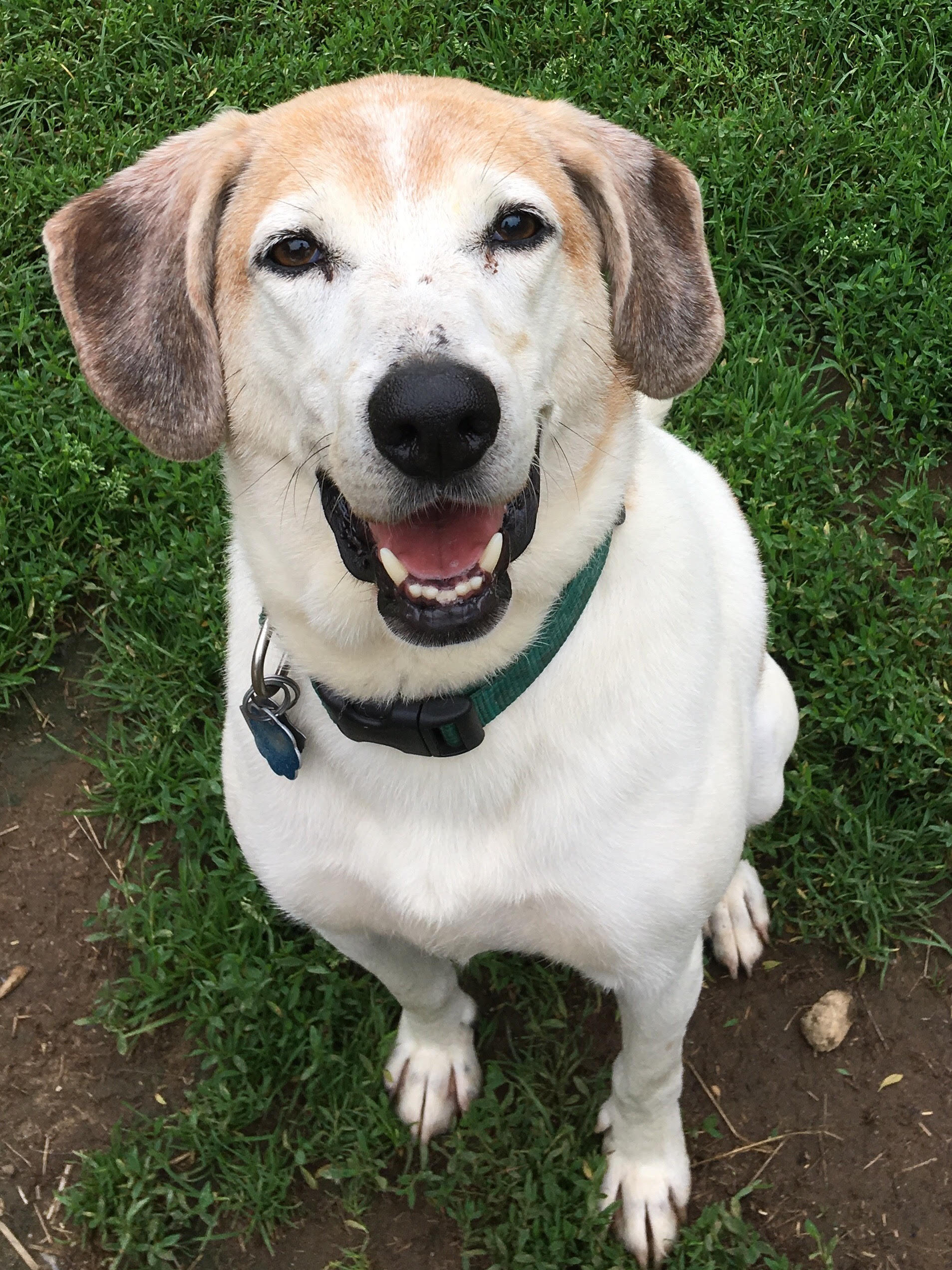 Toby, A Beagle & Hound Mix In Freeport