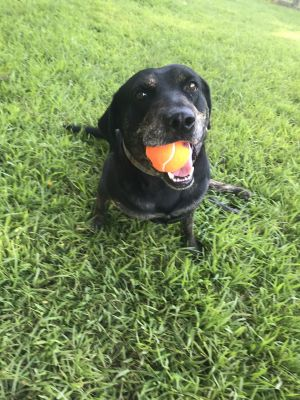 Poe - charming, cuddly, brave, bold and fun boy Plott Hound Dog