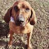 Bloodhound Dog: Dolly