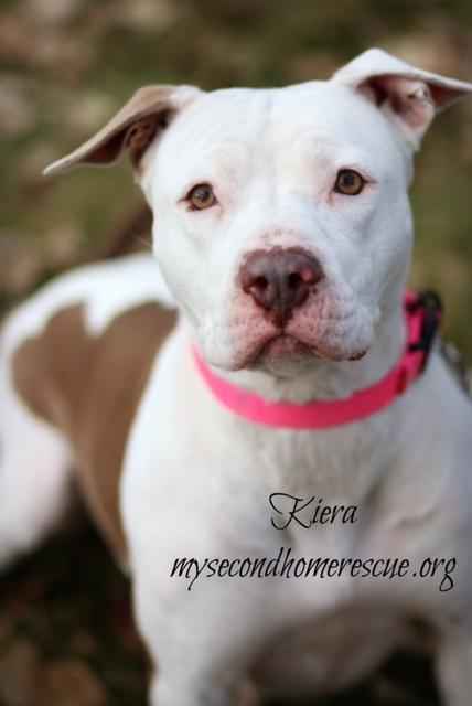 Kiera, an adopted American Bulldog Mix in Carr, CO