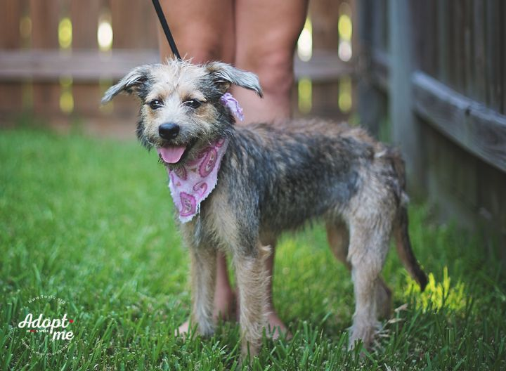 Bambi, an adopted Schnauzer & Border Terrier Mix in Kingwood, TX