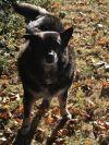 German Shepherd Dog Dog: Sarge