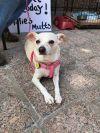 Chihuahua Dog: Blondie