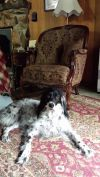 English Setter Dog: Patches • She is lonely