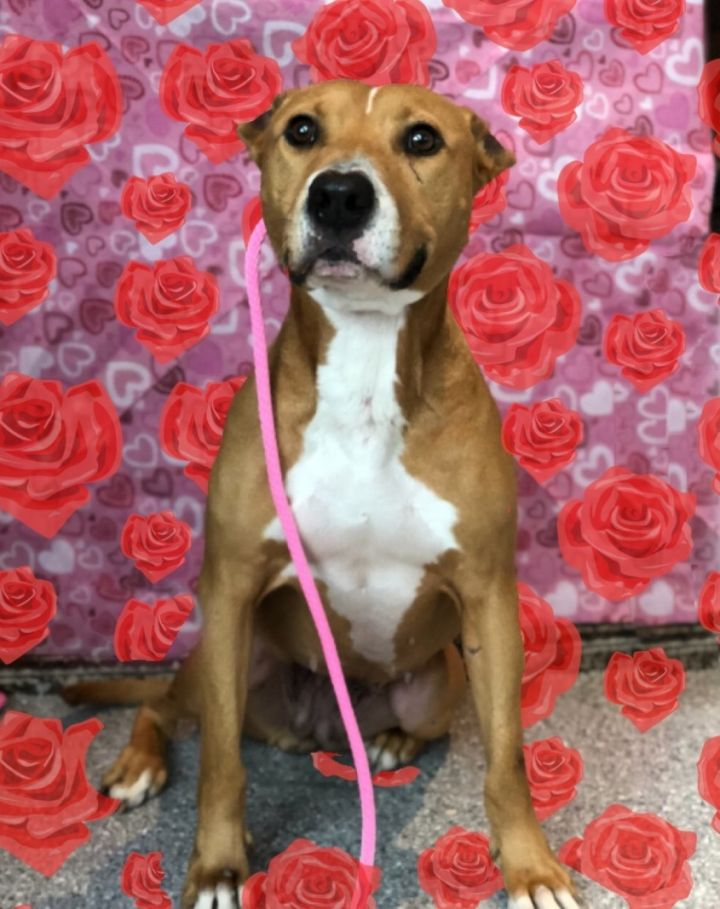 Annie the lovebug, an adopted American Staffordshire Terrier Mix in Houston, TX