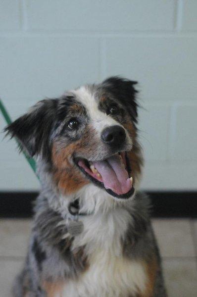 Dog for adoption - Mac, an Australian Shepherd Mix in ...