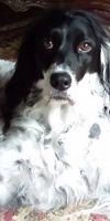 English Setter Dog: Patches - Courtesy Posting