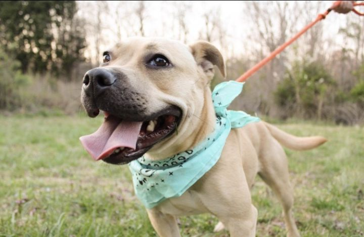 Prada, an adoptable Pit Bull Terrier Mix in Greenville, SC