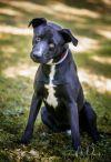 Labrador Retriever Dog: Buck
