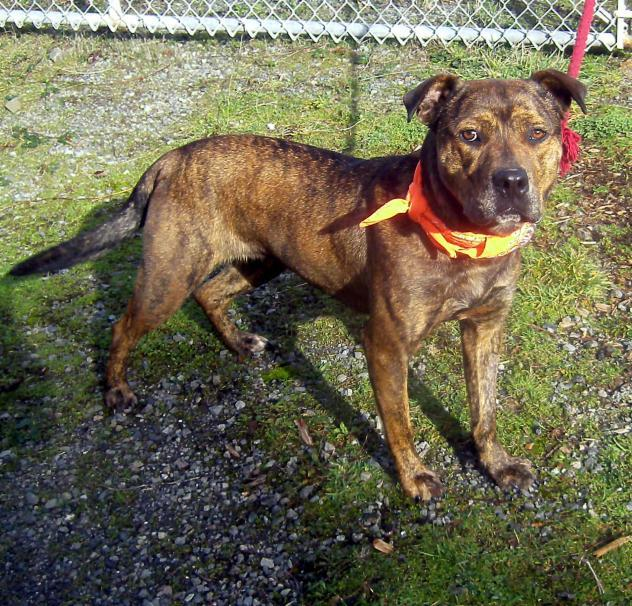 Quilla, an adopted Pit Bull Terrier Mix in Medford, OR
