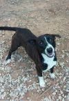 American Bulldog Dog: Henry